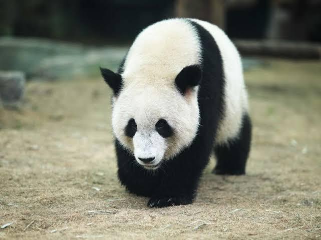 田中圭とミスパンダ(清野菜名)と飼育員「シロでもクロでもない世界でパンダは笑う」1話ネタバレと視聴率!